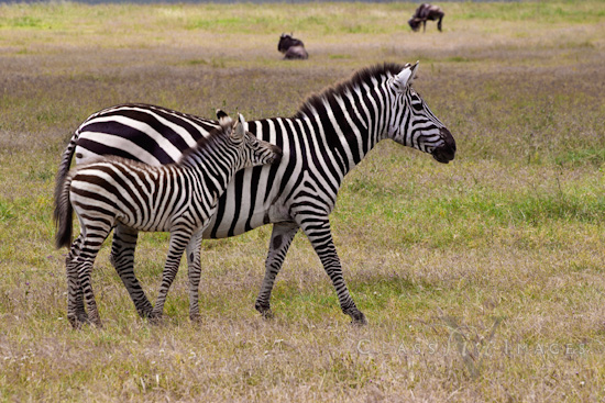 Zebra baby and mother - photo#23